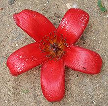 Shimul flower